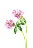 Red Clover on a white background.