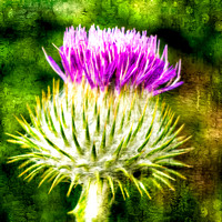 Thistle - The flower of Scotland