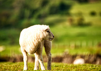 Young Lamb in Pasture